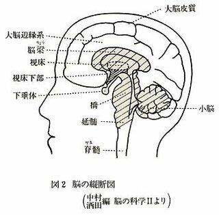 下記のサイトでは、大脳のほとんどを新脳(添付図の白い部分)、脳梁・間脳・中脳・橋・小脳・延髄を合わせて旧脳(添付図...