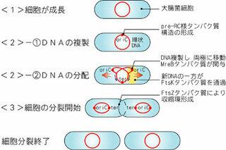 原核細胞の代表として、大腸菌を考えてみます。大腸菌の遺伝子は、たった一本の環状DNAで、普段から一ケ所で細胞膜に付...