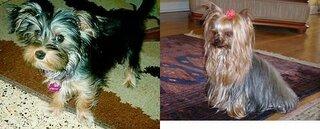 生まれた時、真っ黒で徐々にタンが入って来て2才頃にはヨーキーの被毛が完成する訳ですが個体により早いコは生後数ヶ月で...
