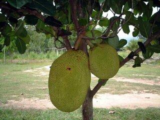 多くの動物に食べてもらいやすいような位置に果実を付けて効率良く種子を拡散できるとともに、幹に直接実を付けることでよ...