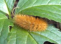 家の近くに赤茶色の毛虫が出ます 何ですか これは 赤茶色の毛虫といっても Yahoo 知恵袋