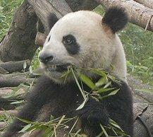 はいはいはい♪ と~ってもカワイイですよ。 中国には、生のパンダに触ることのできる施設がいくつかあります。...