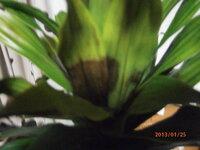 観葉植物が病気? なんか、葉っぱがくろずんできて。。。 なんかの病気?  対処法、わかるかた、お願いします。