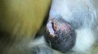 犬の去勢後、傷が開いてしまいました… 昨日日帰りでうちの犬の去勢手術をしました。吸収糸でやったので、カラーなどはつけませんでした。 帰っ てきてから、やはり傷を時々舐め、さっき傷を見ると、なんかカパッと開いている気が… 血は出てないと思います。座っているところに、血や体液みたいなのはついていません。 様子もいつもと変わりません。いつも通り元気に吠えます。私の膝で丸まってウトウトもします。 気...
