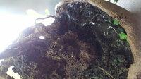 おはようございます。父の盆栽にヘドロみたいなものがあります。 何でしょうか?分かる方ご意見御願いいたしますm(_ _)m 父の盆栽に一年くらいしてヘドロみたいなのが出始めました。 粘菌でしょうか? 粘菌なら嬉しいのですが(^^;)  ご意見御よろしく願い致しますm(_ _)m
