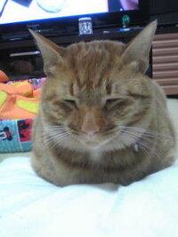 茶トラの猫を飼ってる皆様、皆様のお家の茶トラちゃんは大きいですか?  わが家の茶トラは里親から引き取った時かは大きめ[8キロ超]でしたが 、病院で肥満と言われてはいませんでした。ただ少し太ってしまいましたが、茶トラを飼ってる方いかがですか? 今もぐうぐうと真横で寝てるうちのこ[♂三歳]です。