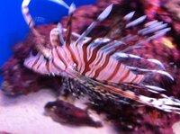 カサゴ?水族館でいろいろな魚の写真を撮ってきましたが、名札を取って無かったので名前がわからないですね。形状からしてカサゴでしょうか?更にリンク集で無い説明があると喜びます。