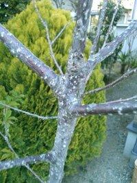 さくらんぼの木 病気? 約5、6年前にさくらんぼの苗木を庭に植えました。 しかし、写真のうように白い点々があり病気らしく葉も出てきません。  害虫なのか、木の病気なんだなーの認識でしか分からず。 対策はありますでしょうか。 また、薬名まで分かれば幸いです。  お願い致します。