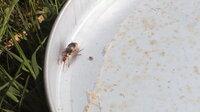 自然農での稲作り7年目です。今年の田んぼの苗床に初めて見る虫が出現しました。去年までは、オケラに悩まされていましたが、今年のこの虫は、体長約1.5~2cmで苗床全体の表面の土を浮かせてしまいます。 何...