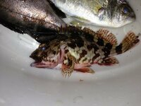 オコゼ?カサゴ? 今日はじめて防波堤からサビキ釣りをしました。 釣れた魚ですが、オコゼとカサゴの区別がつきません。(調理すれば食べれますか?)どちらか分かる方回答お願いします。 ちなみに全部は写っていないのですが、黒っぽいの(背びれがトゲトゲ)がメバル、白っぽいのがアジだと思うのですが、釣った魚をビニール袋に入れてクラーッボックスの中に入れておいたのが悪かったようで、2時間くらい前に中指...