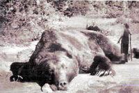 三毛別羆事件のヒグマ大きさについて wikipediaによると、2.7m、340kgだそうですが、 写真を見る限り5m、2tくらいあるように見えます。  写真の右に立っている人の身長が150cmとして ヒグマの足と同じくらいの長さに見えます。 この時点で少なくとも3mはある思います。 それに加えて、クマは基本的に足が短く胴体が長いことを加味すると 4mは超えそうです。 更に、...