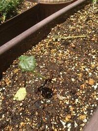オクラが死にそうです。助けてください。 ベランダで育てているオクラが死にそうです。 苗から植えつけして1ヶ月くらいです。毎日水をやっています。  途中、  芽が多すぎるのかと、3本ひとかたまりくらいだったのを1本に芽欠きしました。  その後、液体肥料を薄めて与えてみました。  これは実は昨年購入したもので、年中屋外に放置していたものです。  日焼けして商品名が読めませんが、1...