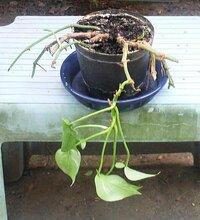 ポトスが寿命・・・? 画像の状態のポトスですが これを蘇らすことができますでしょうか? ・・・ 4年ほど小さな鉢で育ておりましたが 枝が3~4メートルになった頃から 徐々に葉が枯れ始めたので 1本の萎れた側枝(葉)を残し全て切り取りました  お願いします ・・・投稿画像が× その時間が長いので再質