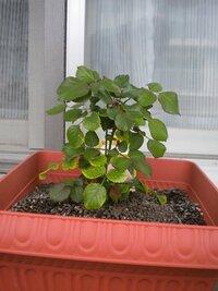大輪四季咲きのバラの育て方について質問です。 大輪四季咲きのバラの苗木(種類:オードリーヘップバーン)を鉢植えで育てることになり、 6月6日に10号の鉢植えに入れて育て始めました。  バラを育てるのは憧れでとても楽しみなのですが、 いままでバラを育てたことが無く、全くの初心者なので、  これからどうやって育てていけばいいのかイマイチわかっていません;  なので、バラの花が咲く...