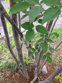 アオダモとアオハダについて こちらはアオダモかアオハダだと思われます。  現在5mほどで、どちらなのか見分けがつきません。  場所は群馬県の北。  枝の先?に実がなりそうな突起がありました。  どちらでしょうか、教えてください。  私もアオダモかアオハダのどちらかを家の庭に植えたいと思っています。  二つの違いや育て方を教えて欲しいです!!  特に気になるのが、双...