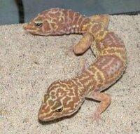 こんな奇形爬虫類本当にいるんですか?