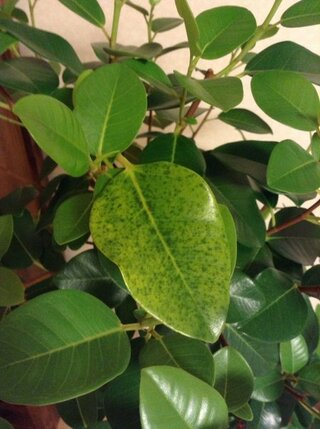 落ちる 木 ゴム の 葉 が