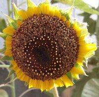 ひまわりの花びらの先端が害虫のせいなのか、キレイに切れています。原因は何かお分かりの方教えて下さい。 ヒマワリを50本植えている中の1本だけが害虫のせいなのか、花びらがキレイに全部切れています。 葉っぱには、灰色のような虫がつき、葉っぱが虫食いの被害にあっています。 花びらも害虫のせいなのか?誰かのいたずらなのか? 原因は何が考えられますか?