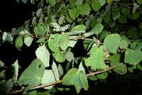 カツラの木の葉が虫に食われて困っています。 自宅の北側にあるカツラの木の葉なんですが、  毎年 葉が黒くなり虫に食われているような感じになります。  そこで、園芸店の店員さんに相談して殺菌剤をまいてみたのですが  やっぱり写真のようになります。  何が原因なのでしょうか?  詳しい方、ご教授お願いします。