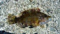 [画像]この魚はなんという魚ですか?教えてください。トゲのような背びれが特徴です。