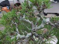 松の盆栽の幹に、白っぽい緑色をした苔のようなものがびっしりと生えてきました これってなんなんですか?  いい対処方法、除去方法などを教えてください お願いします