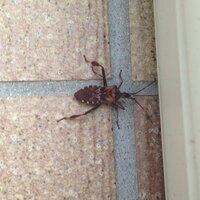 カミキリムシみたいな虫が一週間前程からベランダに現れる様になりました。 この虫の正体をご存知の方、教えて下さい!