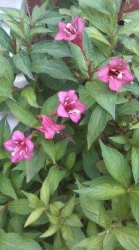 花の名前をおしえて下さい。 1mくらいの木に赤い花が咲いてました。 何と言う名前でしょう。