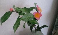 お茶の木と言われ育てましたら 赤い花が咲きました。 葉の大きさ、花の大きさなどは 白いお茶の花と同じくらいですが 赤い花の茶の木なんてありますか?