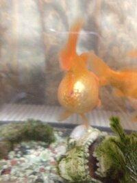 うちの金魚がお腹がパンパンになってしまい、心配です。なにかの病気でしょうか?どなたかご解答お願いします。