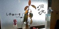 ゴムノキについての質問です。写真のように置いていると、葉がしおれてきてしまいました。ゴムノキは、日光に強いと思うのですがなぜでしょうか?ちなみに室内で育てています。