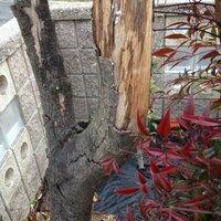 枯れた木は復活できるでしょうか?  アラカシの木の一株だけ皮が剥がれ落ちて枯れそうです。 ここから復活させることはできるでしょうか?