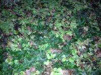 苔について質問です。 写真は私の家の裏庭に生えてるものなのですがこれは苔ですか?土にへばりついてる感じではなく多少フサフサとしています。 これが苔だとしたらなんという種類でしょうか? また、ガジュマル を育てている鉢植えにてこれを栽培したいのですがどうすればいいのでしょうか?