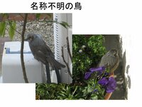 写真の鳥の名前を教えて下さい。 今朝、ひなたぼっこをしている様子の鳥を写真にとりました。名前を教えて下さい。