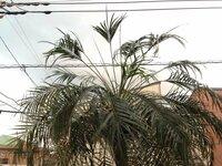 フェニックス・ロベレニーを育てていますが、頂冠部から正常な葉がでてきません。 フェニックス・ロベレニーを3m間隔で5本、7年前から屋外で育てています。 丈は地上2m50cm~3m程度です。場所は東京...