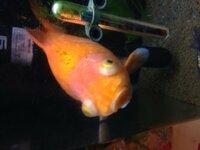 写真を追加出来たのでもう一回質問します。金魚が写真の様な状態になってしまいました。水は変えたのですが治りません。どうすれば良いのですか?