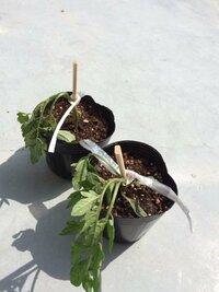 ミニトマトの植え替えをしたのですが、しおれてしまいました。 初めてミニトマトを栽培してみて、種の説明にあった通りプランターで発芽させ、大きいのだと10cm位になったので植え替えてみました。  プランターと譲るようにポットに入れたのですが、植え替えてすぐに 写真の様にしおれてしまいました。 初めてだったので、何も考えず掘り起こしてしまったので根が切れて元気がなくなってしまったのでしょうか…? ...
