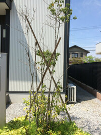 【ソヨゴ】が『ルビーロウカイガラムシ』にやられた! お世話になります。  約6年ほど前、マイホームの完成に合わせ、 玄関前にシンボルツリーとして【ソヨゴ】を植えました。 スクスクと育ち、葉っぱも濃い緑色になって良い感じでした。  ところが約2年ほど前から、ソヨゴの枝には白い無数の塊が付着し、 葉っぱに茶色の斑点ができて、多くのアリが発生していました。 ※ この時はまだ、甚大な...