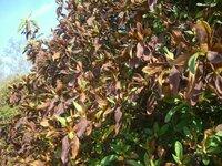 平戸ツツジです。葉が枯れたように茶色になりました。3月20日頃には、変化はありませんでした。4月10日には、写真の様に、葉が茶色になりました。5月10日頃には、つぼみを付けています。 花は咲きます。このよう...