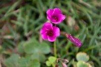 この花の名は?(ムラサキカタバミに似ている) こんにちわ。どなたか教えてください。 我が家のセメント舗装の駐車場と家の建物との間に生えている草です。 手元の図鑑「日本の野草・雑草」(成美堂出版,2006)を見...
