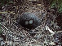 セキレイは毎日同じところをねぐらとしてるのですか? わがやの木に4月25日ごろからキセキレイが巣作りをはじめたので、あまり刺激しないように様子を見ていたところ、5月5日には卵が5個あったのですが、カラスに食べられたのか5月12日には全部なくなってしまいました。 その後、しばらくはキセキレイの姿を見かけなくなったのですが、5月20日ごろから再びその姿を見かけるようになりました。 そして昨日...