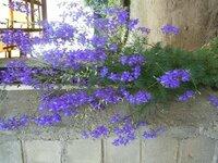 この花 名前は何でしょうか? 紫色の小さな花がたくさん華やかについています。葉はコスモスみたいで、背丈は70cmくらい。 もうじき種ができそうな気配。種をいただけば、我が家でも咲いてくれるでしょうか ...