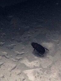 虫画像注意!この虫はなんですか?最近家でよく見かけて困っています(´・_・`) 何かの昆虫のような気もするのですが(>人<;)