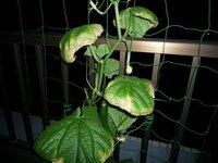 きゅうりの葉が枯れることの対処について。 きゅうりの中段から上段の葉っぱが内側に丸まり、端からだんだん枯れていきます。 下段の葉は一度、長雨の時にうどんこ病になりましたが、治りました。 虫は今までついていません。  どう対処したらいいでしょうか? 枯れ始めた葉は取っちゃった方がいいんでしょうか?  プランター(17ℓ)に1株植えており、水遣りは朝に1度、下から水が出る程度。 ...