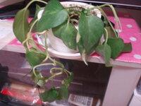 観葉植物のポトスがシナシナになり元気がなくなりました。水は土が乾いたらあげていました。 どうすれば、回復するのか分かる方教えて下さい。