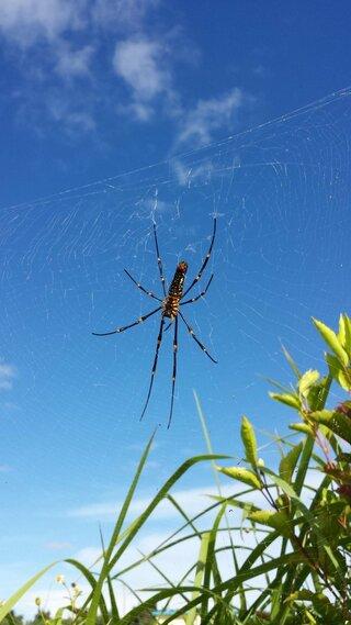 大きいクモ,宮古島,胴体,ジョロウグモ,名前,質問者様本人,クモ