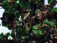 先日もこの時期になってハナミズキの葉が茶色になり落葉してしまう事が気になり質問させて頂きましたが、写真も無かったため、今回はアップして再度 お聞きしたく宜しくお願いします。  樹冠 も多少、茶色が進んだ様に見えますが、他ね地上180センチ位の所から3m位まで、葉が茶色に変色し落葉します。落葉した茎下には肉眼でハッキリ見える新芽?の様な物も確認出来ますが、既存の葉の茶化と落葉が気になり 枯...