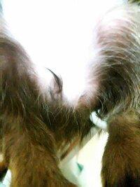 チワワ 女の子の陰部の埋まり?について  ブリーダー様から2ヶ月程のロングチワワを飼おうとしているのですが、写真の様に陰部が埋まり横を向いているのを見つけて獣医に見せた所問題は無い と言われたらしい...