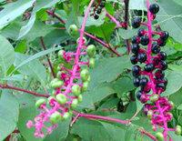 庭に紫の実がなりました。 近所の人が「ブルーベリーだ。」というので、「ブルーベリーとは少し、違うような」と思いながらも食べてみると、あまりおいしくありませんでした。 この実の名前を知っている方がいた...