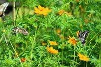 この昆虫の名前を教えて下さい。 蝶又は蛾? コスモスの花にいました。