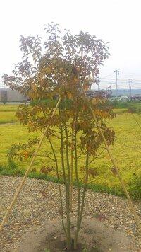 ソヨゴの葉っぱが茶色や黄色になってしまいました。  植えている場所は土地上朝から晩まで太陽の日が当たります。 茶色くなってきたのはちょうど朝晩が肌寒くなってきた時期と同じ位なので年中強い西日を受け焼けたか?常葉樹でも秋の紅葉?かと思っていました、また土の栄養が少ないのかと思い液体肥料も考えていますがその前にちょっと心配なので現在の状態をお分かりの方いましたらアドバイスください。 このソ...